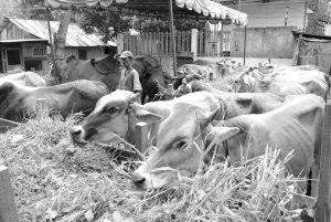 SUMUT PASOK SAPI IMPOR. Seorang peternak sapi tampak memberi makan hewan ternaknya di Desa Sei Rotan, Kabupaten Deli Serdang, Jumat (28/6). Untuk mengantisipasi peningkatan kebutuhan sapi menjelang Ramadhan di Sumut, Pemerintah Sumut kembali menambah stok sapi impor dari negara Australia sebanyak 2.755 ekor sapi melalui Pelabuhan Belawan.