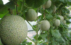 greenhouse-hanging-melon-22