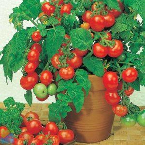 tomat-cheery-pot