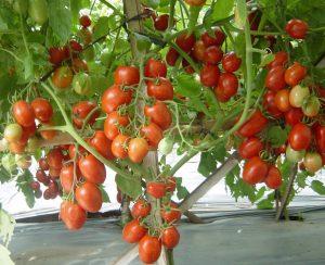 tomat-manfaat-despresi-