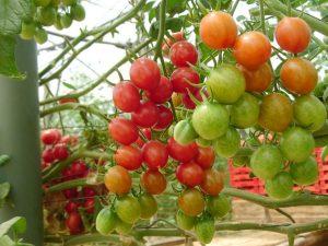 tomato_cherry_sun_stream