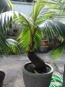 jual beli bonsai kelapa coco bonsai tanaman unik langka kelapa kuning gading