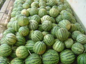 Semangka-Panen-2