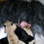 Anjing Betina Susui Bayi Singa