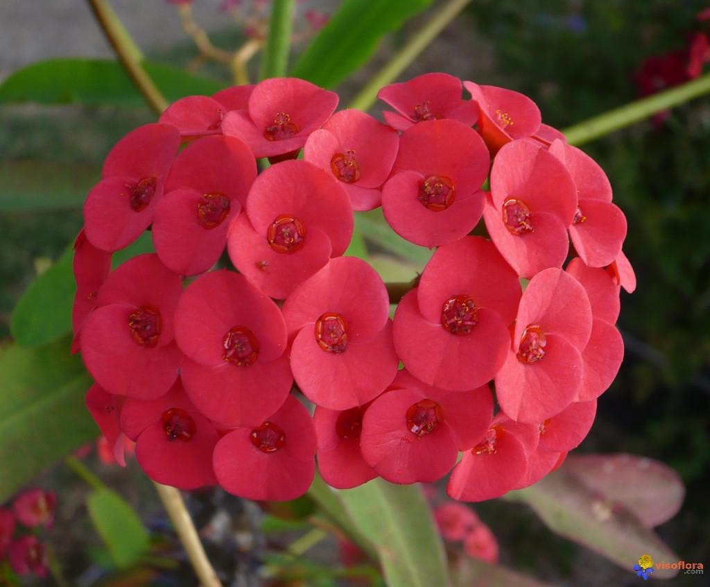 Agar Euphorbia Semarak Berbunga