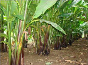 Abaca Plant