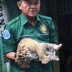 Empat Anak Harimau Benggala Lahir di Medan