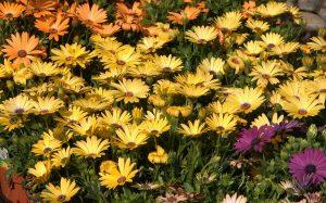 bunga gerbera 2