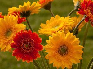 gerbera-flowers-bouquet-blurring