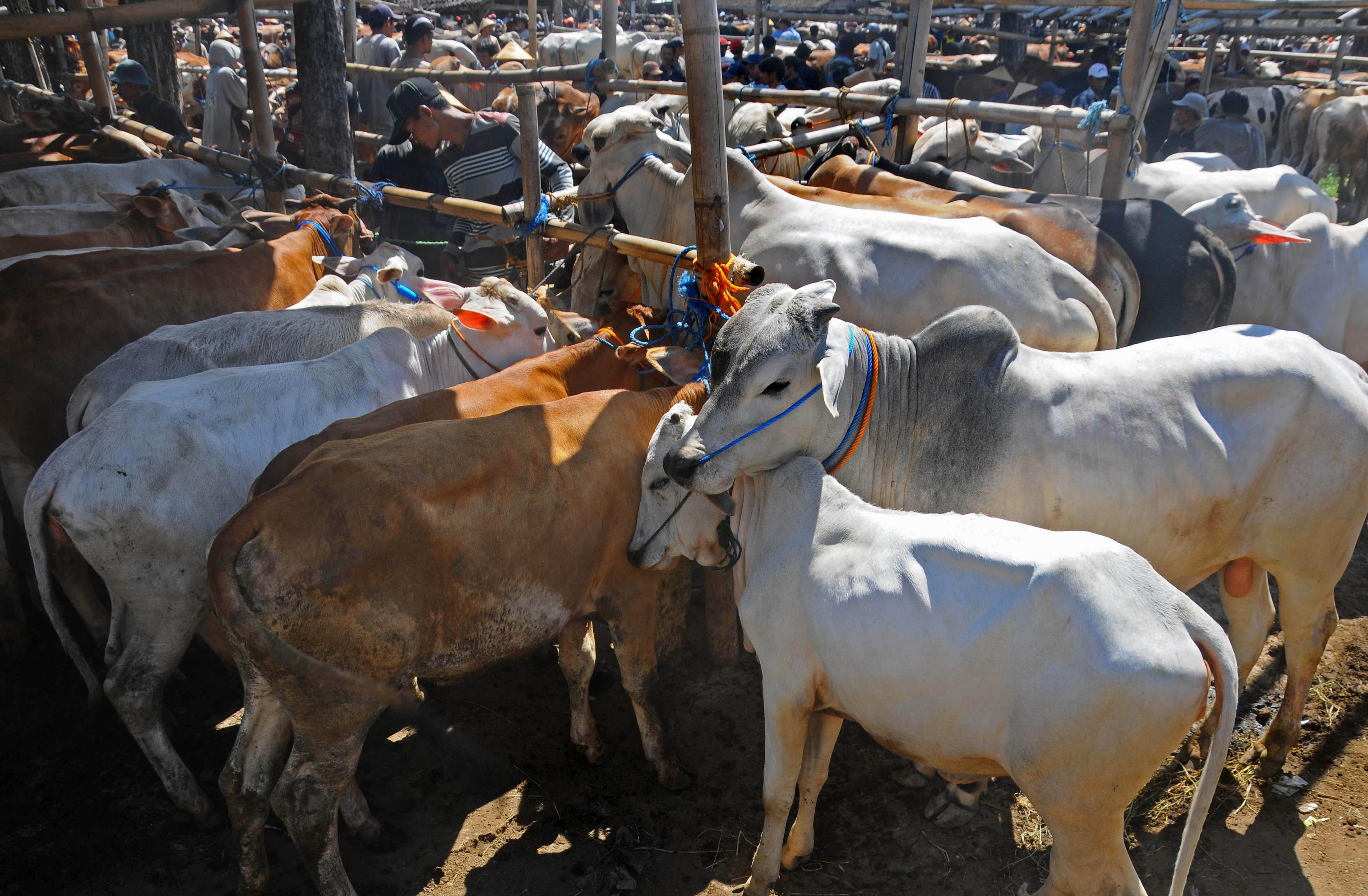 50++ Hewan ternak sapi terbaru