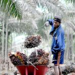Lahan Bermasalah Kendala Replanting Kebun Sawit Petani