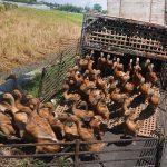 Pemerintah Hentikan Impor Daging Bebek Malaysia